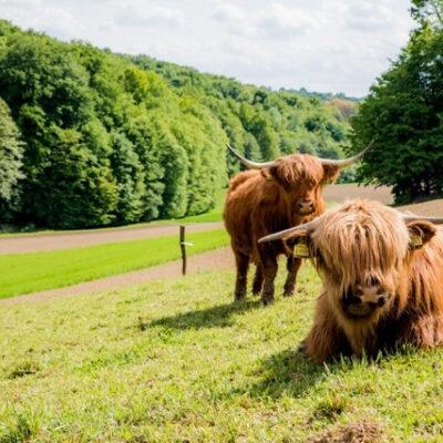 Škotsko višavsko govedo